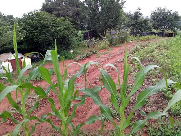 야산밭의 사연과 텃밭 모습등등- 그래도 큰토마토가 11센치 크기