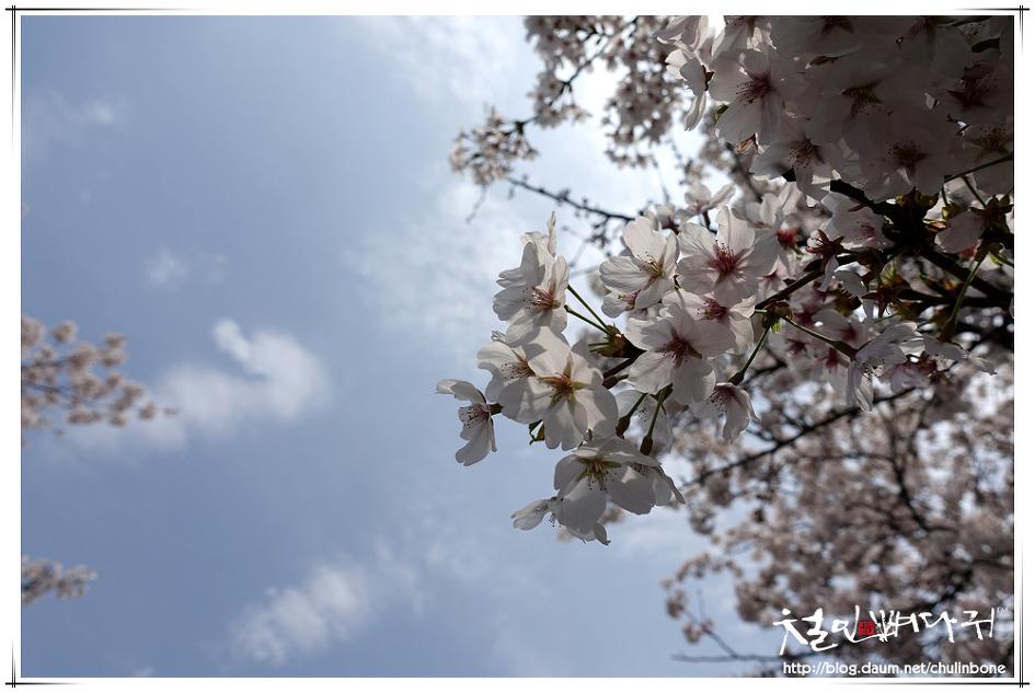 중촌동철길천변벚꽃.은행교천변벚꽃(대전)