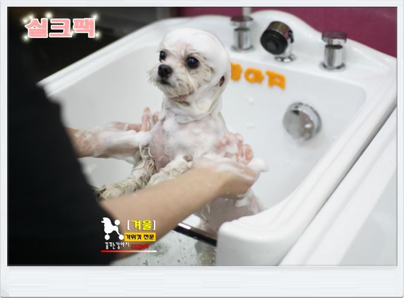 """고급스러운 대전 """"실크팩"""" 말티 가위컷, 애견미용 잘하는곳! [꿈꾸는 강아지]"""